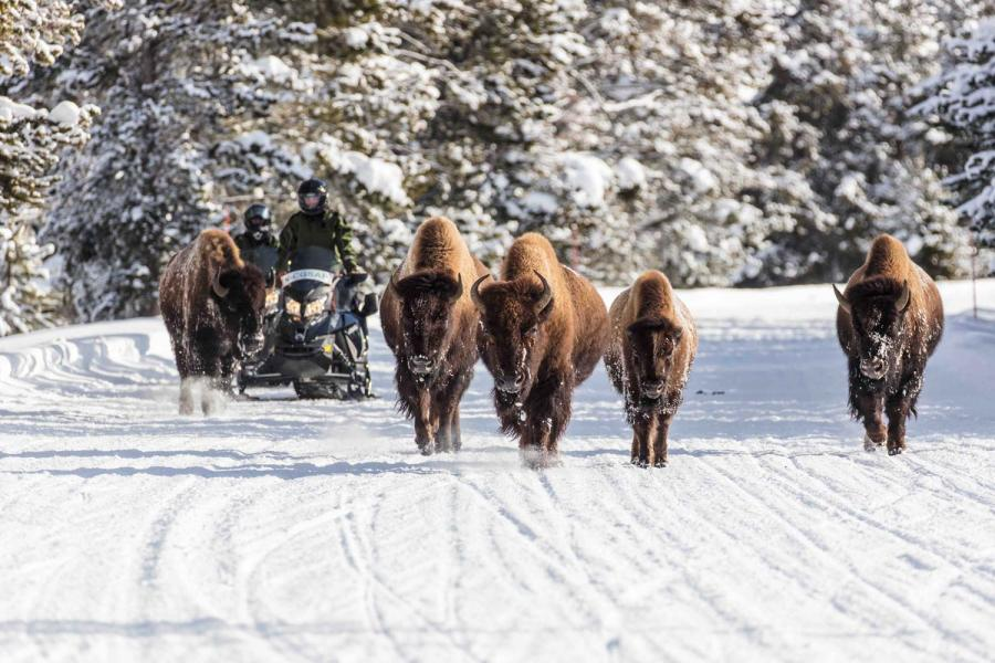 Snowmobiler im Yellowstone Park mit Bisons